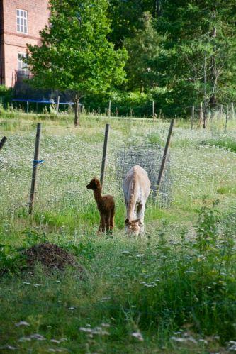 En nyfödd alpackabebis bredvid sin mamma