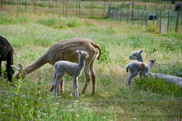 Urgulliga alpackabebisar med sina mammor