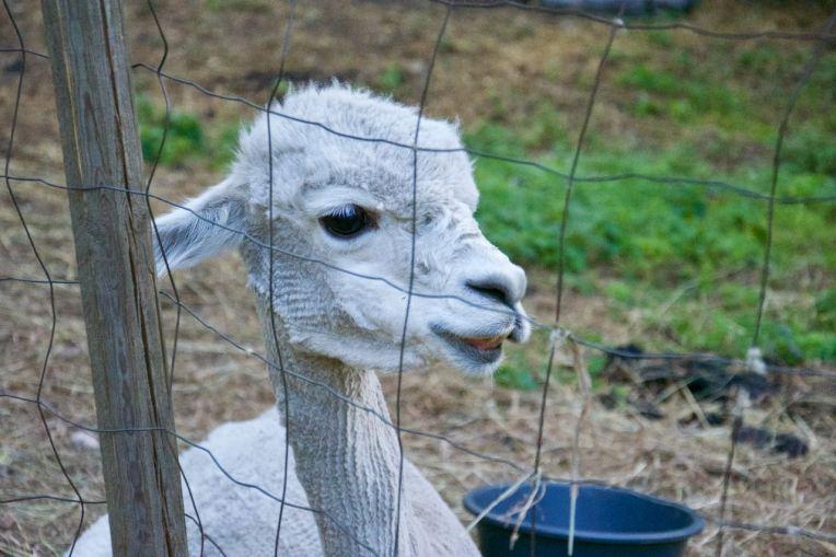 En kortrakad alpacka funderar på livet